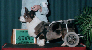 """""""Juneau"""" CH Phi-Vestavia Blue JuniperLost to IVDD in 2003 after first going down at the end of 2000."""
